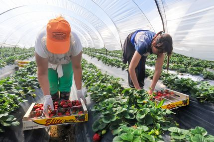 Strawberry Picking Fruit Picker Farm Jobs